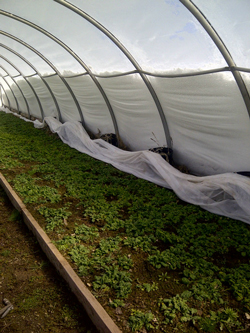 Spinach grows in the unheated Earth Friendly Farm greenhouse, near Salisbury, NB, in April, as four feet of snow climbs the walls. (Photo by Susan Linkletter)