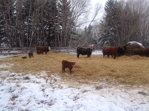 Organic cattle from Terry Sheehan's herd gather around hay